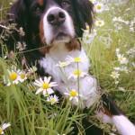 Hund Sommerwiese