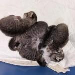 2018-9-neugeborene Katzenbabies1