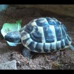 2018-9-vermisste Schildkröte Iffeldorf.2png