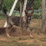 2018-11 Hunde Senekos Serbien extern3