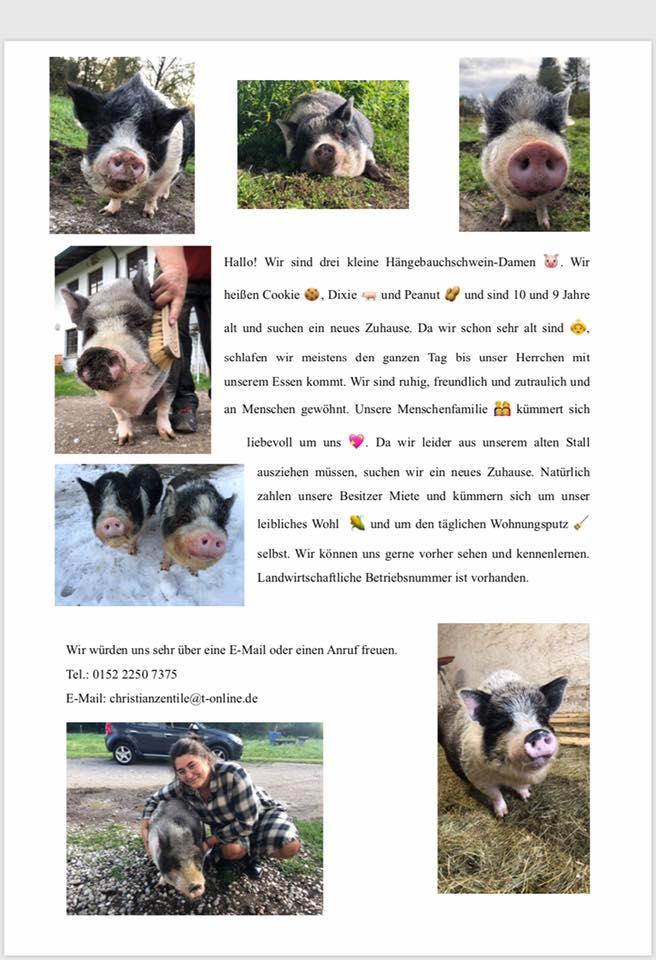 2020-7 Hängebauchschweinchen