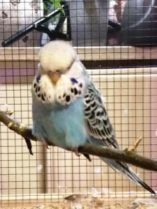 21-7-wellensittich bichl entflogen blau